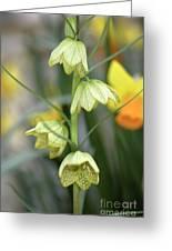 Fritillaria Cirrhosa Var. Thunbergii Greeting Card
