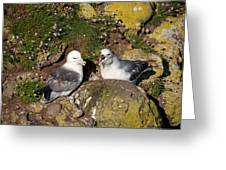 Fulmar Pair Bonding Greeting Card