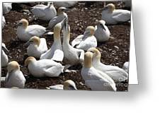 Gannet Birds Showing Fencing Behavior Greeting Card