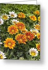 Gazania Gazania Rigens Flowers Greeting Card
