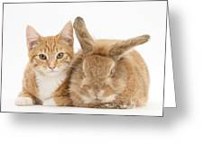 Ginger Kitten With Sandy Lionhead-cross Greeting Card