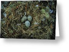 Glaucous-winged Gull Nest With Three Greeting Card