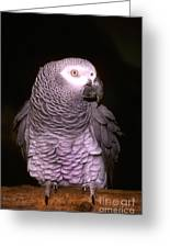 Gray Parrot Greeting Card