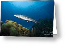 Great Barracuda, Belize Greeting Card