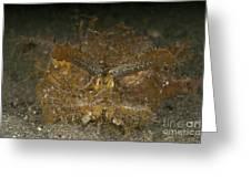Green Ambon Scorpionfish, North Greeting Card