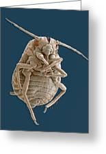 Greenfly, Sem Greeting Card by Steve Gschmeissner