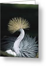 Grey Crowned Crane Balearica Regulorum Greeting Card