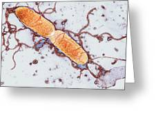 Gut Bacterium Reproducing, Tem Greeting Card by Hazel Appleton, Centre For Infectionshealth Protection Agency