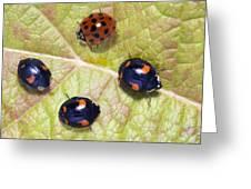 Harlequin Ladybirds Greeting Card