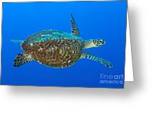 Hawksbill Sea Turtle, Kimbe Bay, Papua Greeting Card