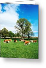 Hereford Bullocks Greeting Card
