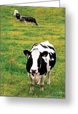 Holstein Dairy Cattle Greeting Card