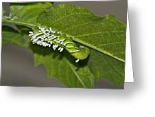 Hornworm With Braconid Wasp Parasites 2 Greeting Card