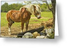 Horse Near Strone Wall In Field Spring Maine Greeting Card
