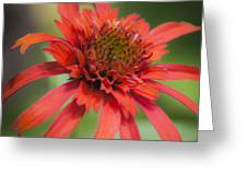 Hot Papaya Coneflower Squared Greeting Card