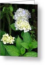 Hydrangea Blooming Greeting Card