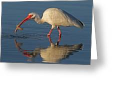 Ibis With Shrimp Greeting Card