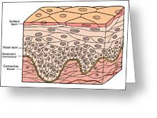 Illustration Of Stratified Squamous Greeting Card