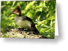 Immature Hooded Merganser Greeting Card