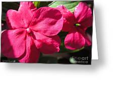 Impatiens Named Dazzler Burgundy Greeting Card