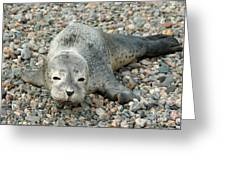 Injured Harbor Seal Greeting Card by Ted Kinsman