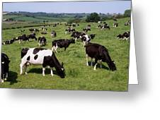 Ireland Friesian Cattle Greeting Card