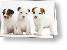 Jack Russell Puppies Greeting Card