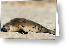 Juvenile Harp Seal Basking In The Sun Greeting Card