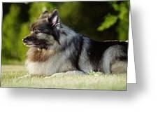 Keeshond Dog, Winnipeg, Manitoba Greeting Card