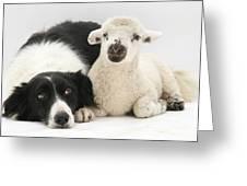 Lamb And Border Collie Greeting Card