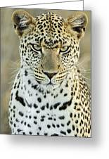 Leopard Panthera Pardus Female Greeting Card
