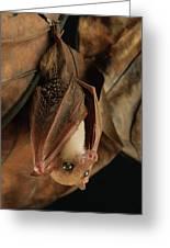 Lesser Long-tongued Fruit Bat Greeting Card