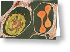 Lung Alveoli And Blood Cells, Tem Greeting Card