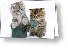 Maine Coon Kitttens Greeting Card