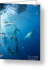 Male Great White Shark And Divers Greeting Card