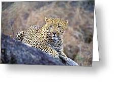 Male Leopard Greeting Card