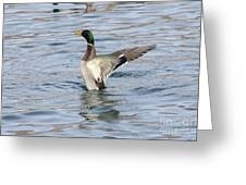 Mallard Duck Showing Off Greeting Card