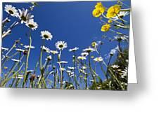 Marguerite Leucanthemum Vulgare Greeting Card