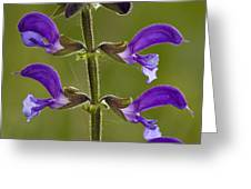 Meadow Clary (salvia Pratensis) Greeting Card
