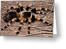 Mexican Red-legged Tarantula Greeting Card