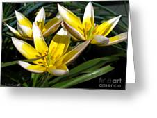 Mini Botanical Tulip Named Dasystemon Tarda Greeting Card