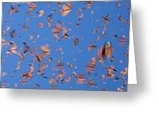 Monarch Danaus Plexippus Butterflies Greeting Card