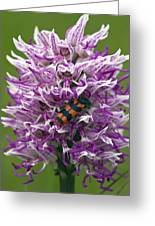 Monkey Orchid (orchis Simia) Greeting Card