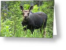 Moose. Two Month Old Moose Standing Greeting Card