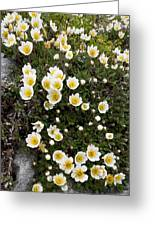 Mountain Avens (dryas Octopetala) Greeting Card