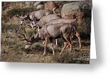 Mule Deer Bucks Greeting Card