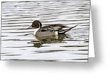 Northern Pintail Greeting Card