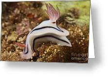 Nudibranch Feeding On The Reef, Fiji Greeting Card