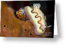 Nudibranch On Orange Sponge, Kimbe Bay Greeting Card