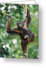 Orangutan Pongo Pygmaeus Adult Sitting Greeting Card